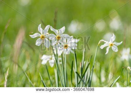 Grandalla. Narcissus Poeticus Grandalla. Narcissus Poeticus Symbolic Flower Of Andorra In Spring.