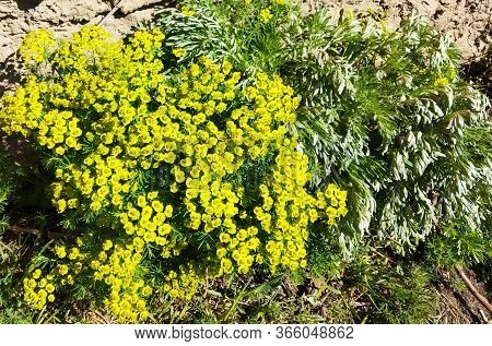 Flower Cypress Spurge On Meadow.type At Solar Day Overhand