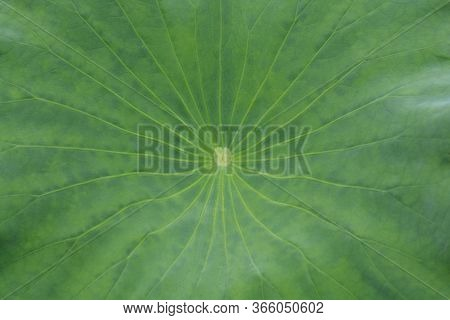 Sacred Lotus Leaf - Latin Name - Nelumbo Nucifera