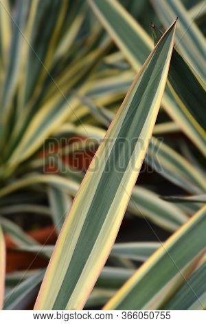 Variegated Spanish Dagger Leaves - Latin Name - Yucca Gloriosa Variegata