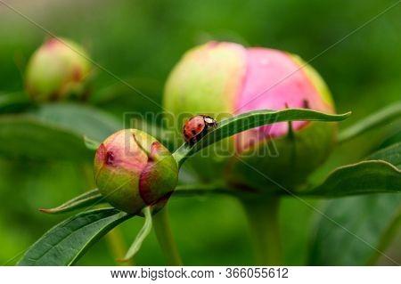 Ladybug Peony, Ladybug Traveling, Peony Bud Closeup. Ladybug Traveling Between Peony Flowers.