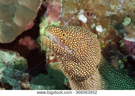 The Moray Eel Leaned Out Of Its Hole With Its Mouth Open, Waiting For Its Prey To Pass By. The Body
