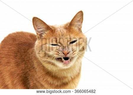 Cat's Grin. The Red Cat Bared Its Teeth And Narrowed Its Eyes. Angry Cat Is Isolated On A White Back