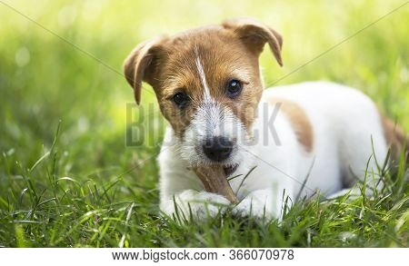 Healthy Cute Happy Pet Dog Puppy Chewing Snack Bone, Cleaning His Teeth In The Grass, Web Banner