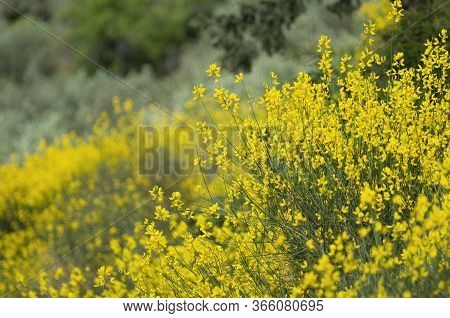 Spring Flowering Of Yellow Spartium On A Blurred Background (rhodes, Greece)
