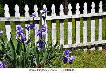 White, Wooden Picket Fence Is Adorned With Blooming Purple Iris.  Fence Is Rustic.
