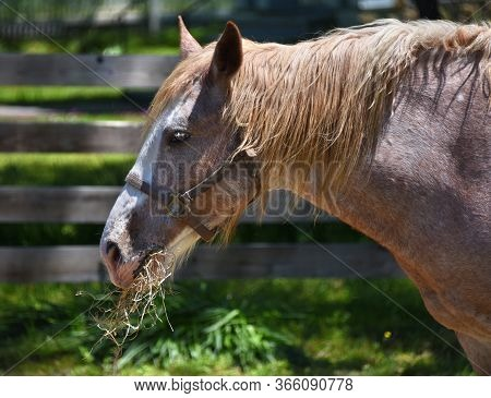 Hay Hangs From Mouth Of Brown And White Horse