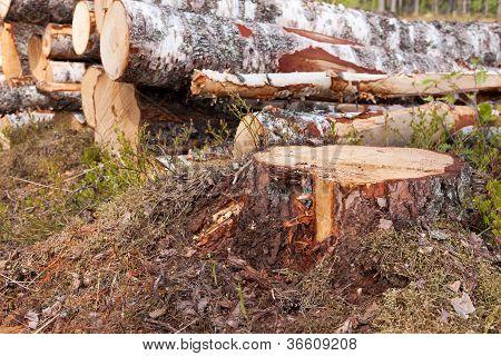 Stump Of A Birch Tree