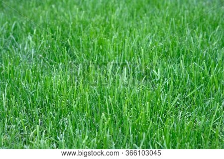 Lawn Grass Mowing Background. Green Lush Mowed Lawn Grass In The Park. Spring Nature Background