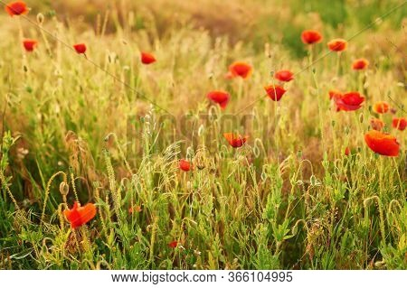 Ukrainian Poppy Field, Ecological Areas Of Ukraine. Ukraine's Independence Day. Remembrance Day, Anz