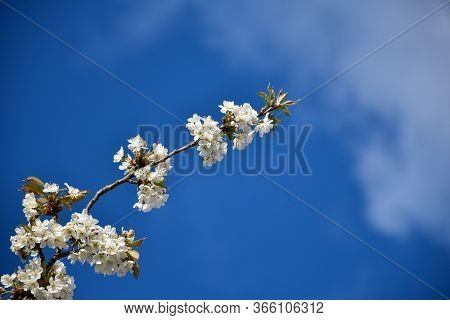 Twig With Beautiful White Cherry Blossom By A Blue Sky