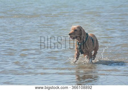 English Cocker Spaniel Pet Plays In Sea Water On The Beach. Light Ginger Brown Spaniel Dog With Wet