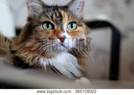 Domestic Long Hair Cat. A Beautiful Cat With Green, Intelligent Eyes. The Cat's Coat Is Tricolored:
