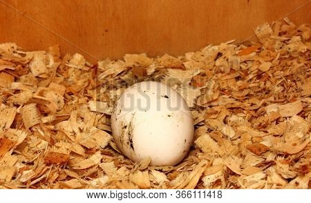 Fresh Eggs In The Nest. The Egg Is Dirty White In The Roots. Chicken Egg. The Egg Is On Sawdust. Pic