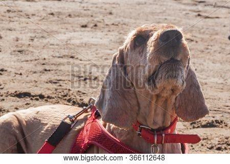 Brown Spaniel Dog Looks From The Bottom Up Waiting For A Command From The Owner. Sad Old Beige Engli