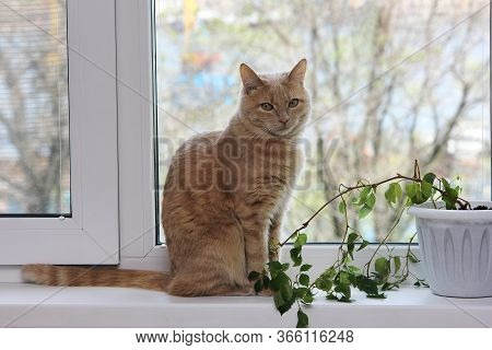 A Pet. The Red Cat Sits On The Windowsill Next To The House Plant. Allergens In The House.