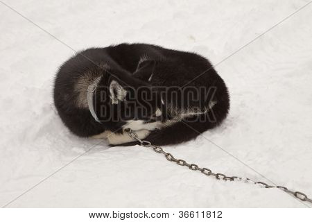 Sleeping Sled Dog With Chain