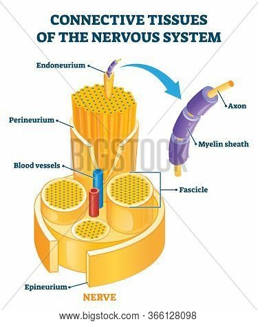 Connective Tissues Of The Nervous System Educational Vector Illustration. Labeled Scheme With Axon,