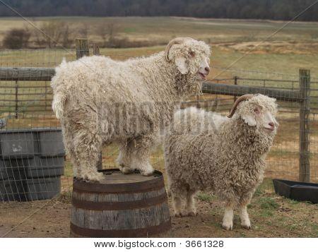 Two Mountain Goats On A Farm