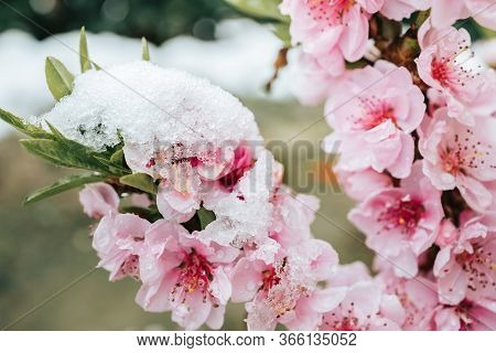 Pink Tree Flowers Covered In Snow. Spring Time, Cold Weather