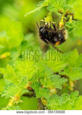 Bumblebee pollinates blackcurrant flowers in the garden