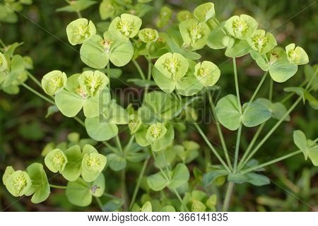 Wood Spurge - Euphorbia Amygdaloides  Woodland Wild Flower