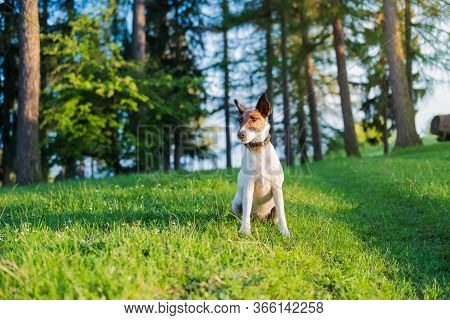 Smooth Fox Terrier Sits On Green Grass Among Flowers. Hiking Active Dog Outdoors, Bright Sun Lit Sce