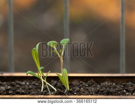 Some Garden Flowers Have Just Germinated. Young Flower Seedlings