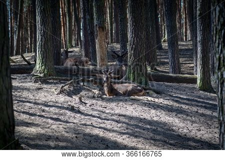 The Red Deer Family In The Forest.