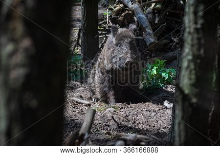 The Wild Boar (sus Scrofa) In The Forest.