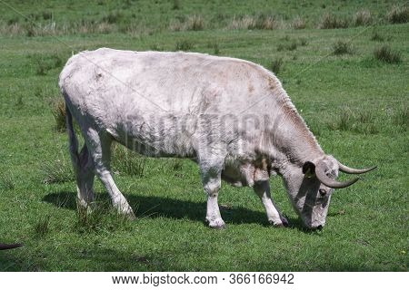 Large Bull Of Heck Cattle In The Field.