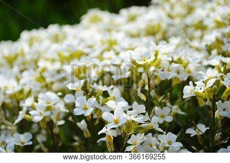 Petite Snow White Flowers Of Lobularia Maritima Alyssum Maritimum, Sweet Alyssum Or Sweet Alison, Al