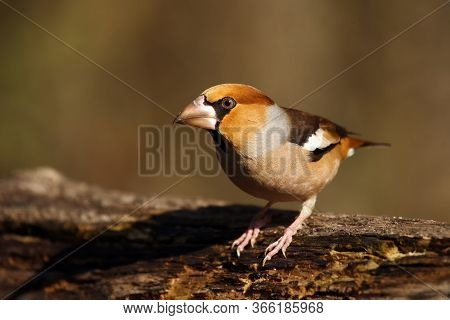 The Hawfinch (coccothraustes Coccothraustes) Sitting At A Drinker. Color Passerine Near Water.