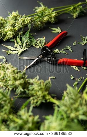Trim Before Drying. Mans Hands Trimming Marijuana Bud.