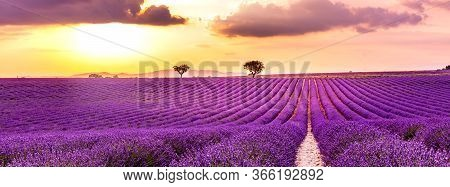 Panoramic View Of French Lavender Field At Sunset. Sunset Over A Violet Lavender Field In Provence,