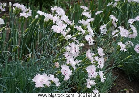 Buds And Light Pink Flowers Of Dianthus Deltoides In May