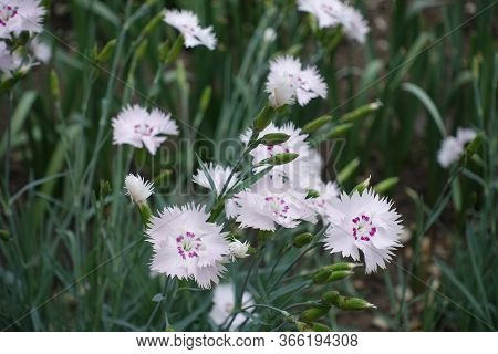 Close View Of Light Pink Flowers Of Dianthus Deltoides In May