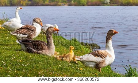 Geese With Small Goslings On The River, A Flock Of Geese