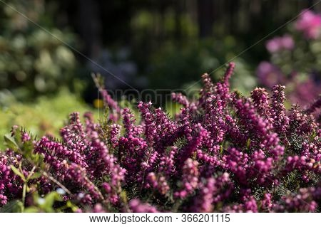 Background Of Small Purple Flowers, Flowering Of Small Horsetail In The Botanical Garden