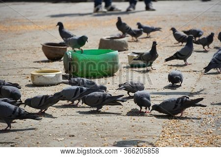 Flock Of Pigeons Feeding On Corn And Wheat In Sunny Weather At A Public Feeding Spot. Large Group Of