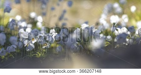 Panoramic View To Spring Background Art With White Blooming Snowdrop Or Wood Anemone (anemone Sylves