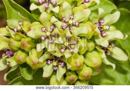 Closeup of flowers of Green Antelopehorn milkweed, an important host plant for Monarch butterfly caterpillars