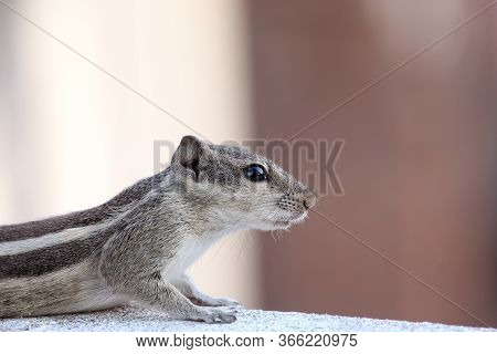 Side Portrait Of Squirrel, Squirrels Are Members Of The Family Sciuridae, Ground Squirrels, Chipmunk