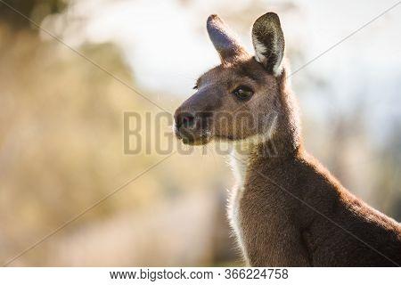 Close-up Portrait Image Of Kangaroo Face In Its Natural Habitat, South Australia