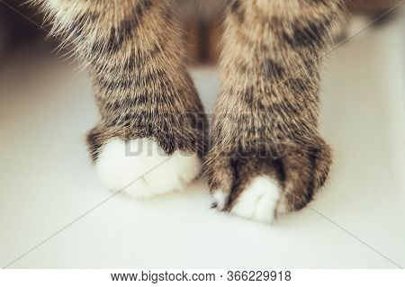 Velvet Paws. Cat's Foots. Legs Of The Tabby Cat, Close Up.