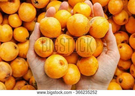 Young Caucasian Woman Holds In Hands Bunch Of Freshly Picked Ripe Juicy Bright Orange Medlar Loquat