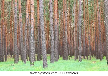 Beautiful Brown Pine Trees With  Beautiful Pine Brown Bark In Pine Forest Among Other Pines