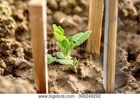 Planting Vegetables On The Beds. Hands Of A Farmer Girl Plant Fresh Vegetables In The Ground. Care,