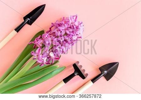 Beautiful Purple Hyacinth Common Hyacinth Or Dutch Hyacinth Flower And Small Gardening Tools On Soft