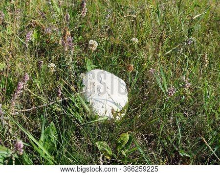 Champignon Mushroom. Champignon In The Steppe. Mushroom Picking.